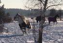 Mazowieckie konie na zimowym pastwisku. Nic ładniejszego nie zobaczysz [WIDEO]