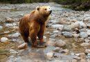 Niedźwiedzica uwolniona z ukraińskiego cyrku na wolności
